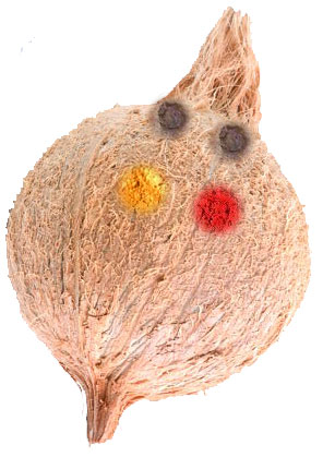 Cococut for Vinayaka Chaturthi