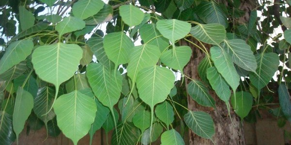 Mythology of the Pipal tree and its importance- ancient Hindu Customs